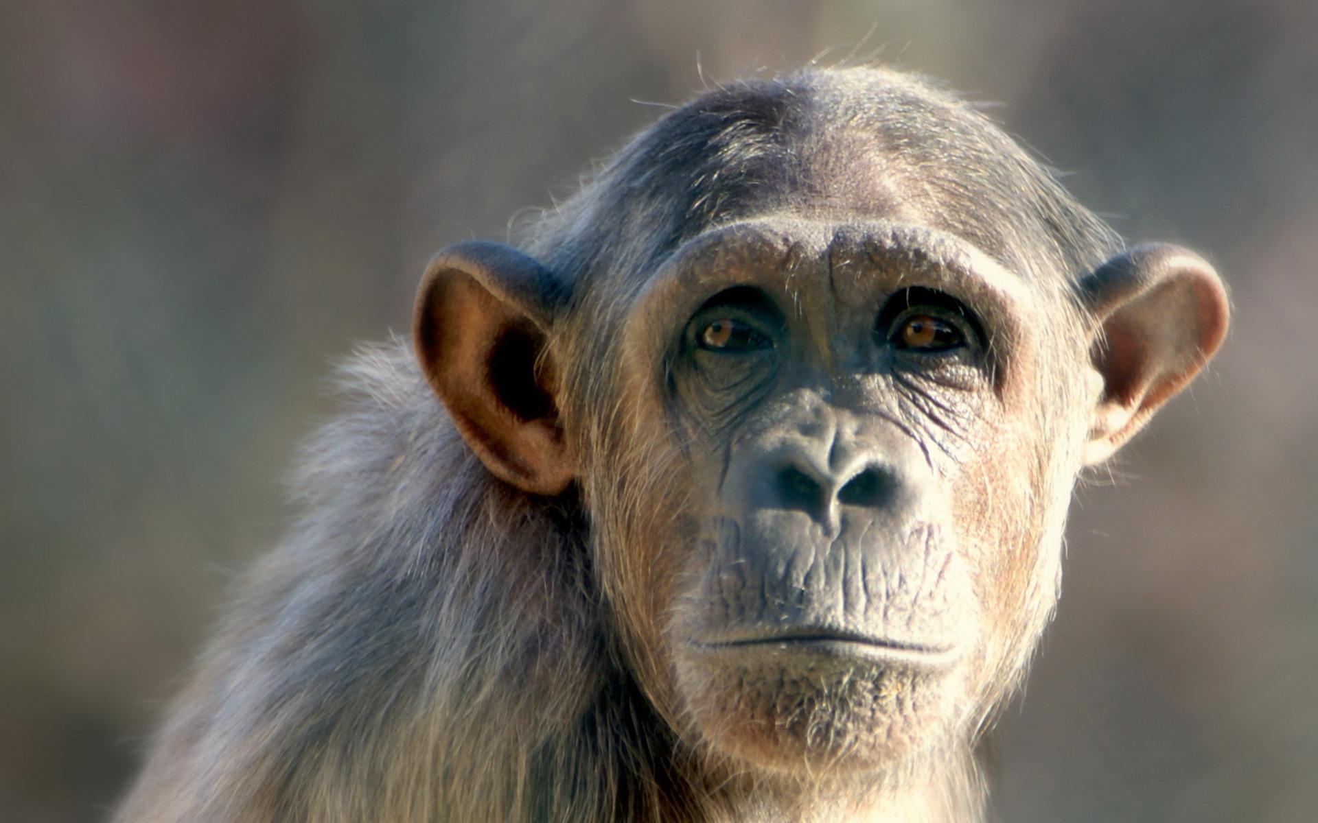 Monkey Wallpaper  X