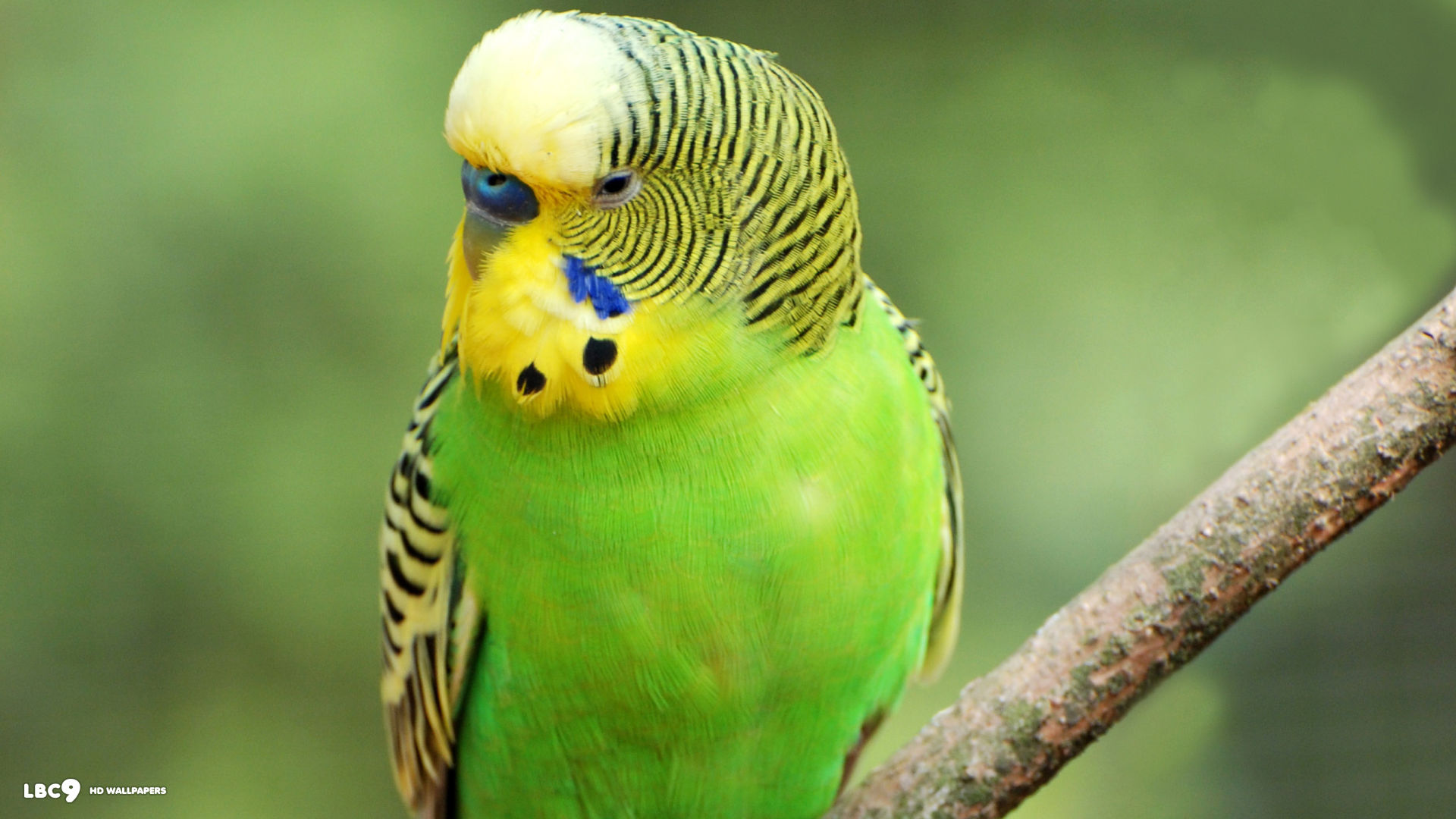 Parakeet budgie parrot bird tropical  wallpaper   1920x1080