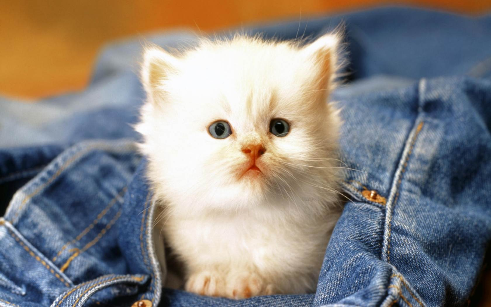 white cats and kittens wallpapers – wallpaper. – adorable wallpapers