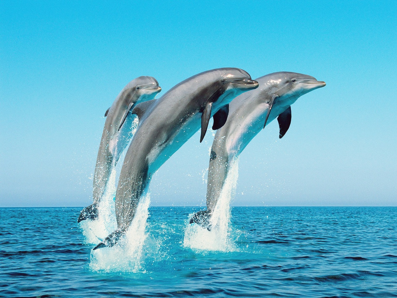 Bottlenose Dolphins wallpapers (54 Wallpapers) - HD Wallpapers