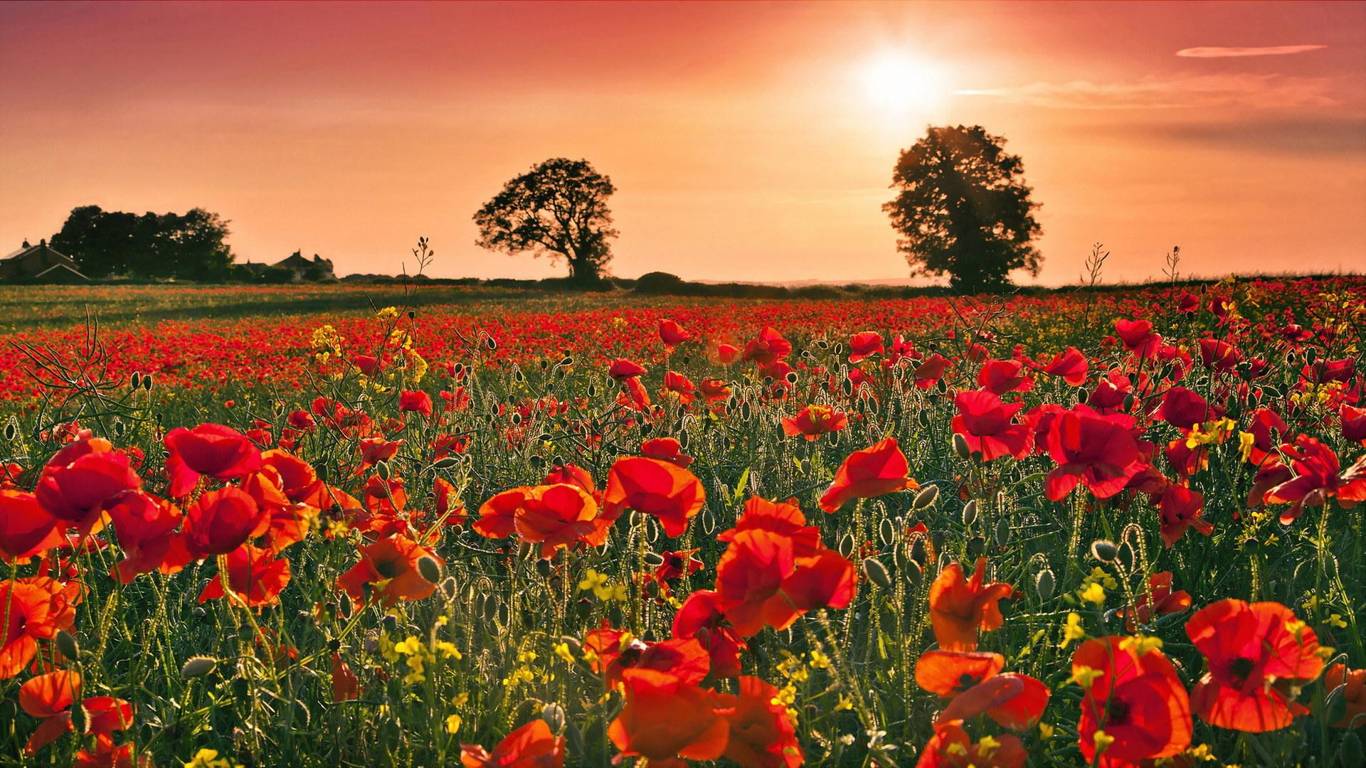 Pictures of poppies wallpapers 38 wallpapers adorable wallpapers - Poppy wallpaper ...