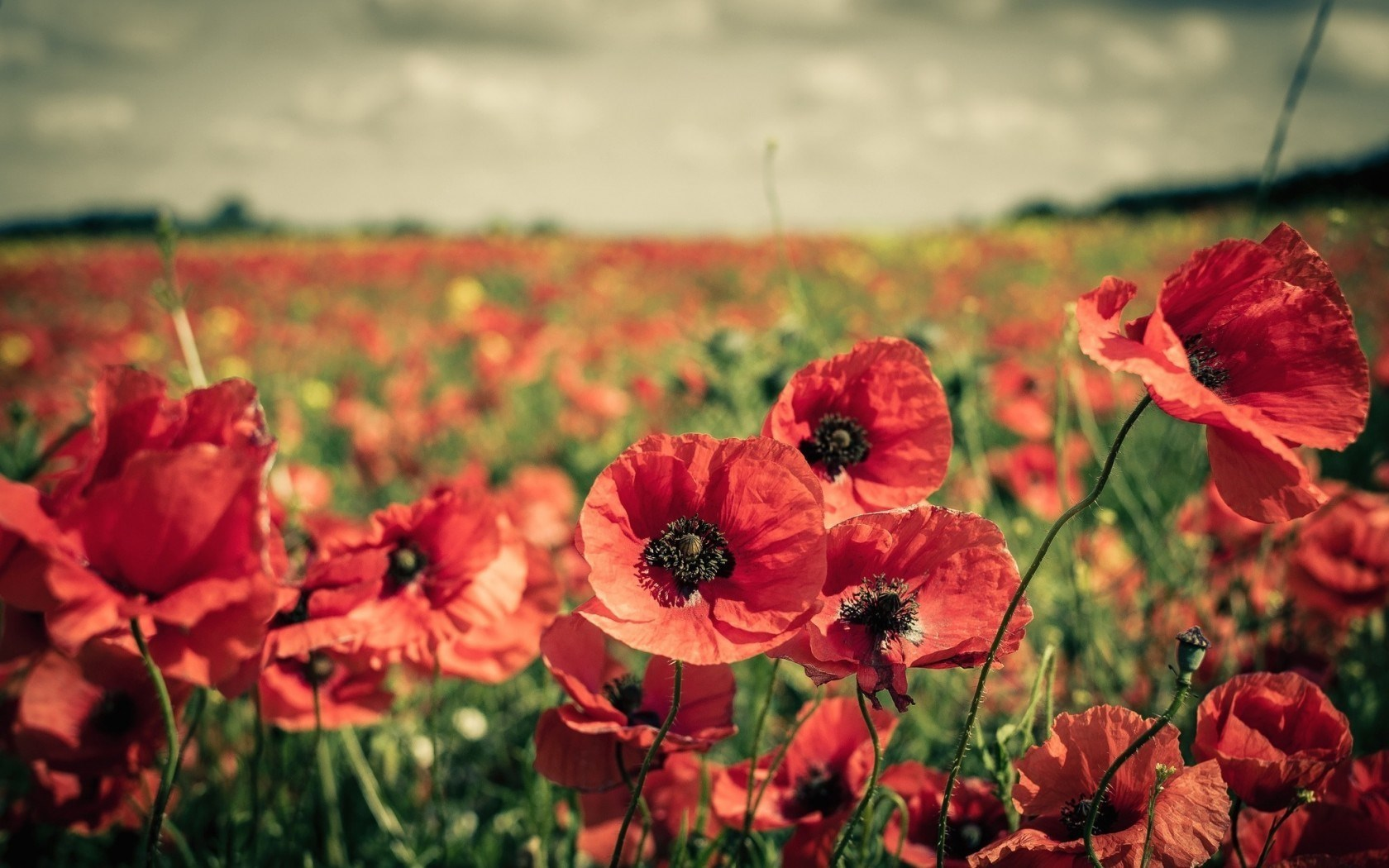 pictures of poppies wallpapers 38 wallpapers u2013 adorable wallpapers