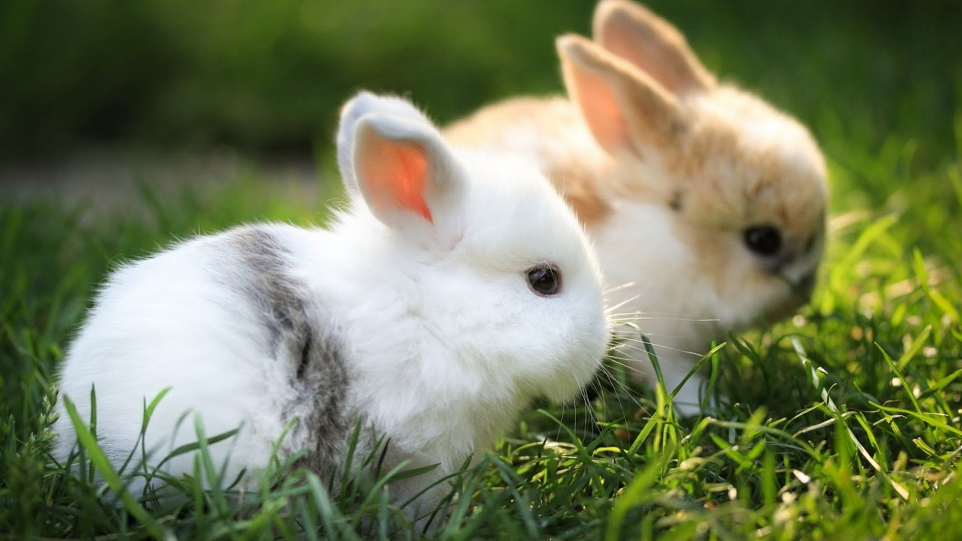 pictures of rabbits wallpapers (55 wallpapers) – adorable wallpapers