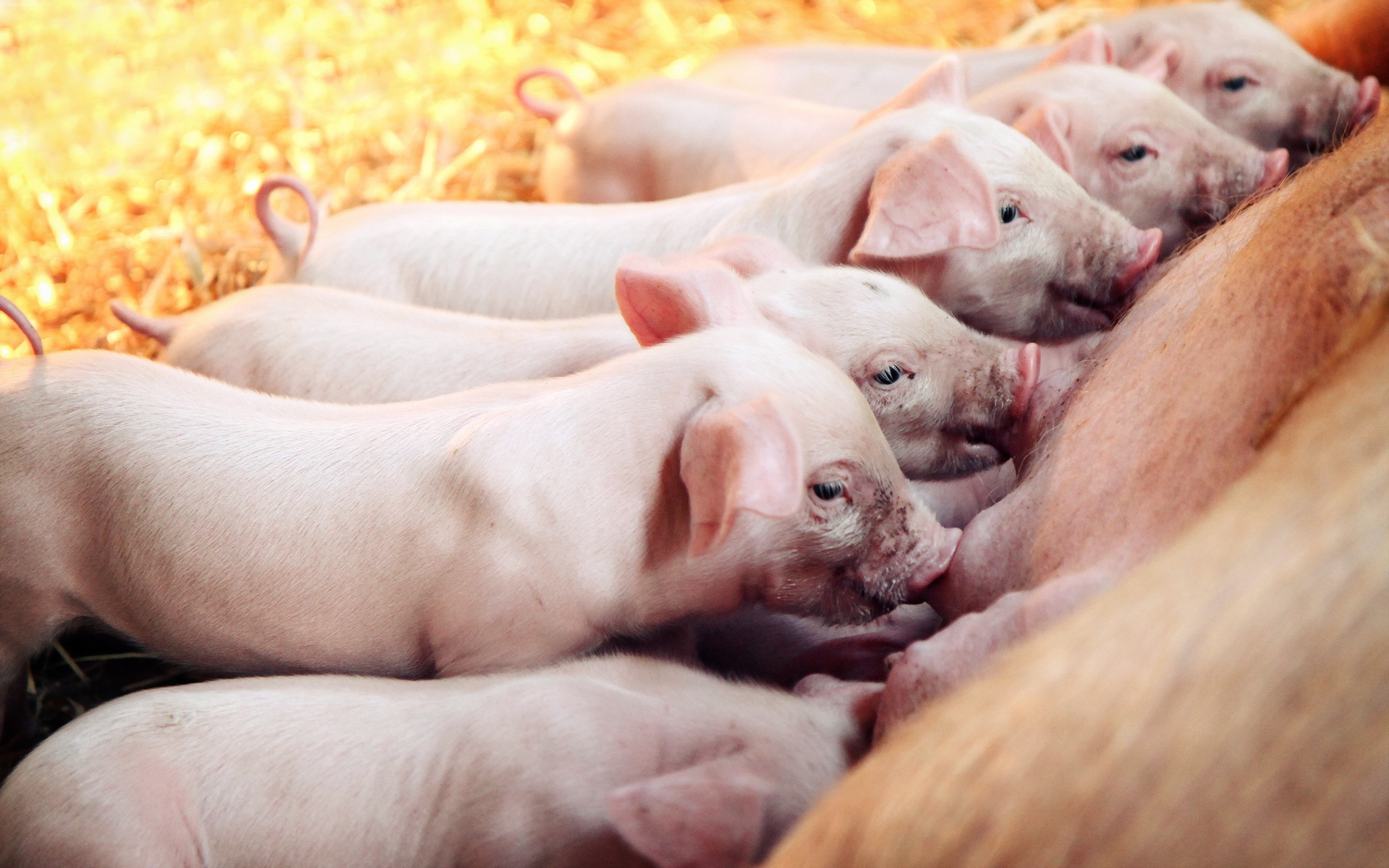 ideas about Pig Wallpaper on Pinterest  Pig illustration 1920x1200