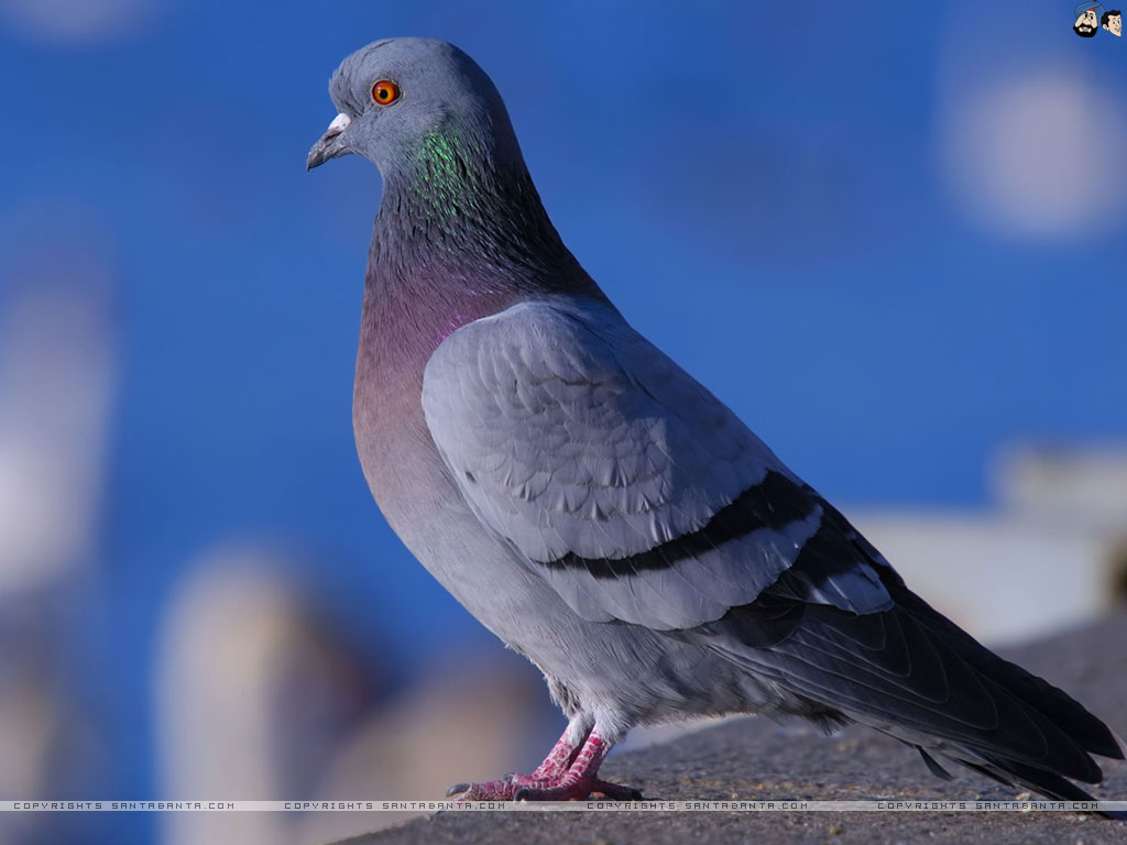 Pigeon HD Wallpapers  Backgrounds  Wallpaper  1024x768