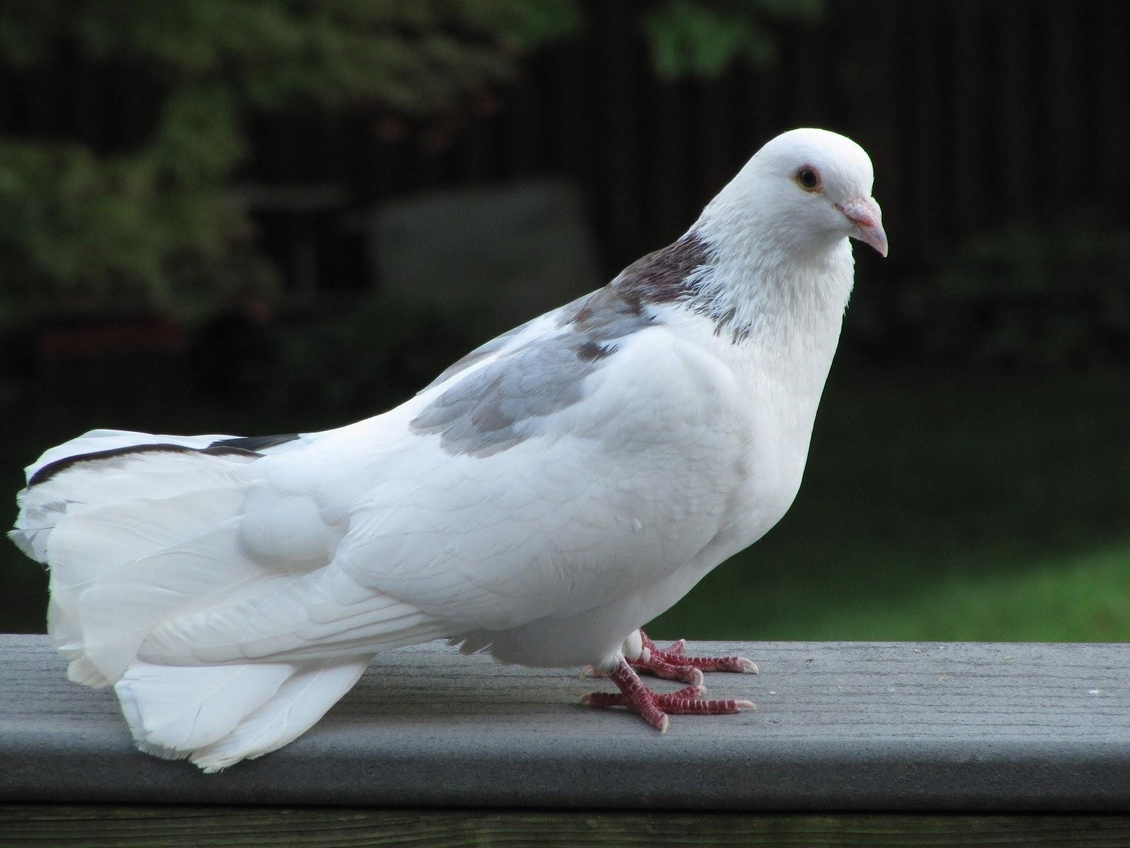 White Pigeon Wallpaper   Beautiful Pigeon Wallpapers Plus Themepack 1600x1200