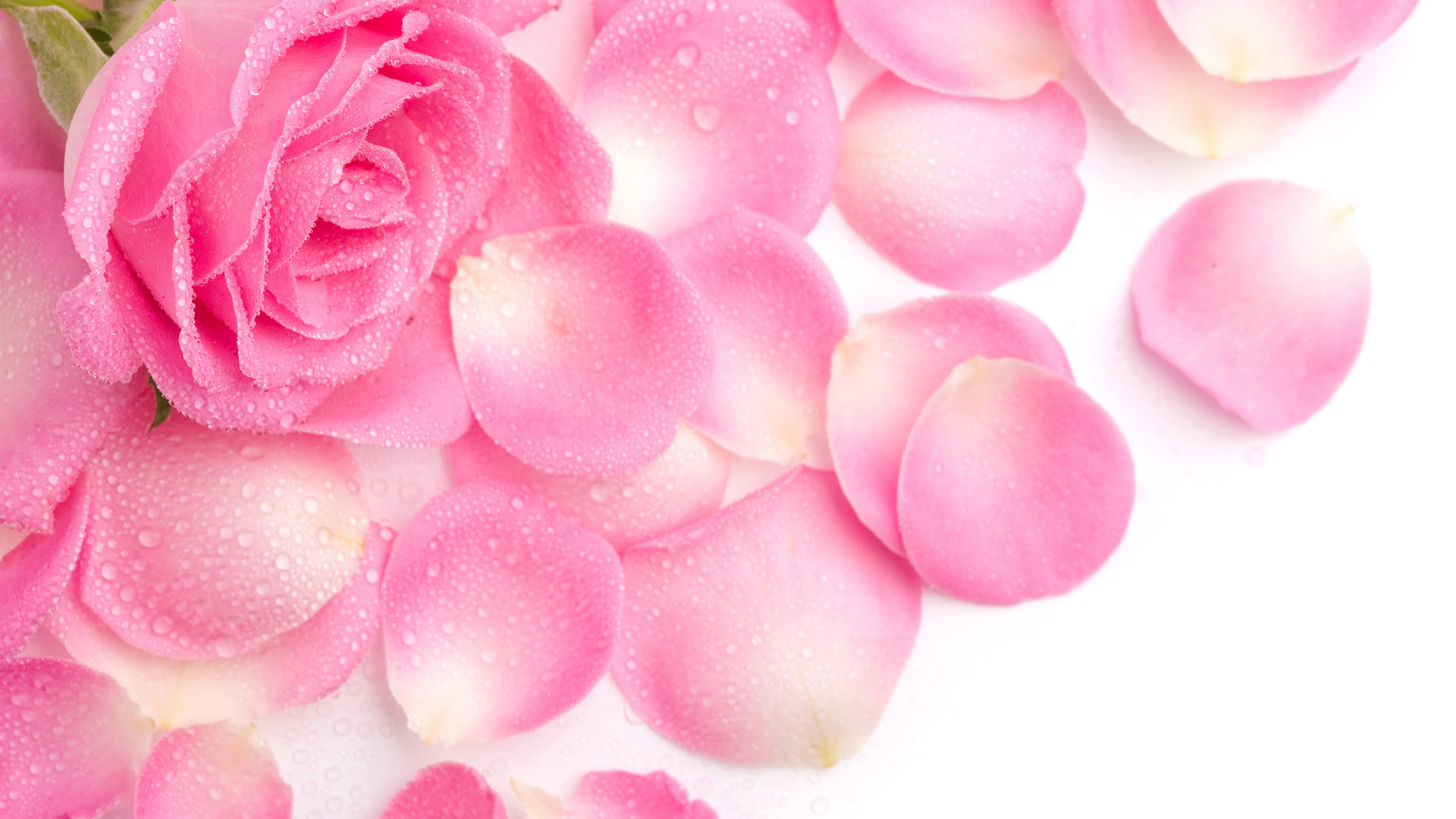 Pink Rose Wallpaper 43 Wallpapers – Adorable Wallpapers