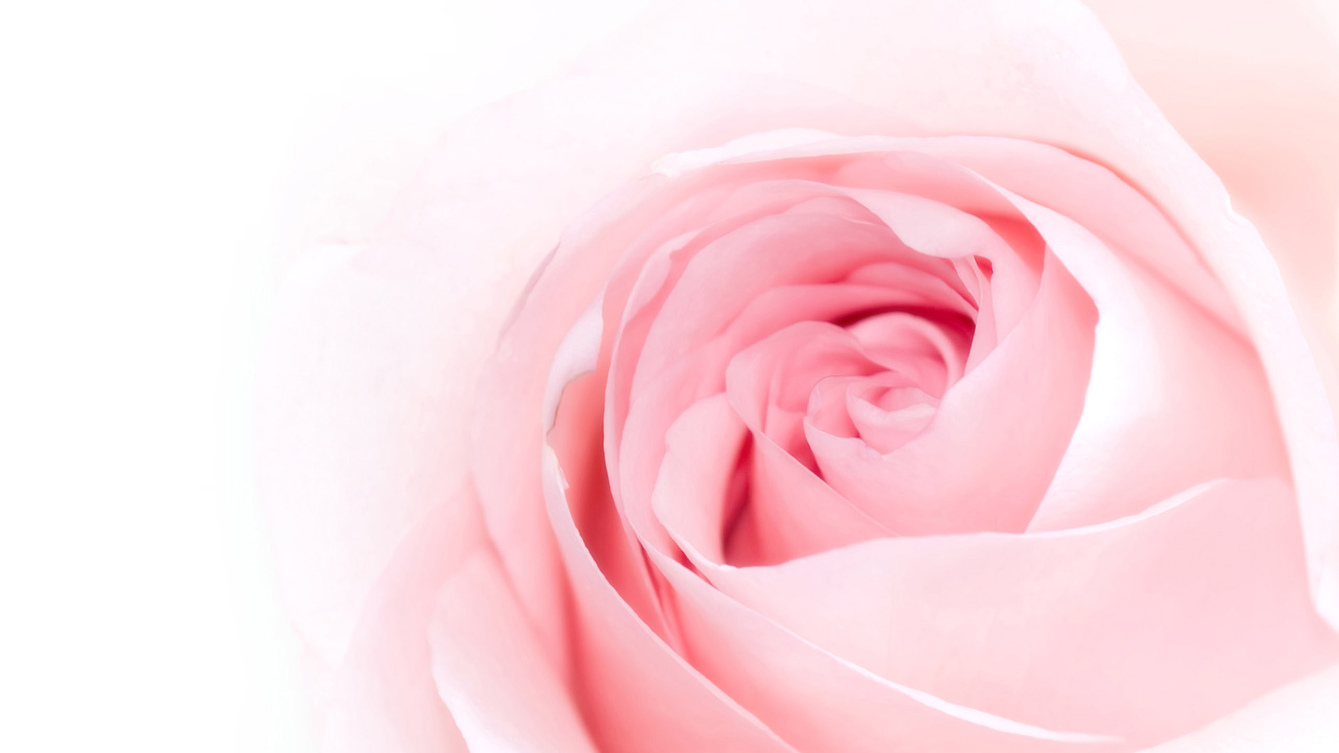 Pink Rose Wallpapers HD Pictures  Flowers  One HD Wallpaper 1920x1080