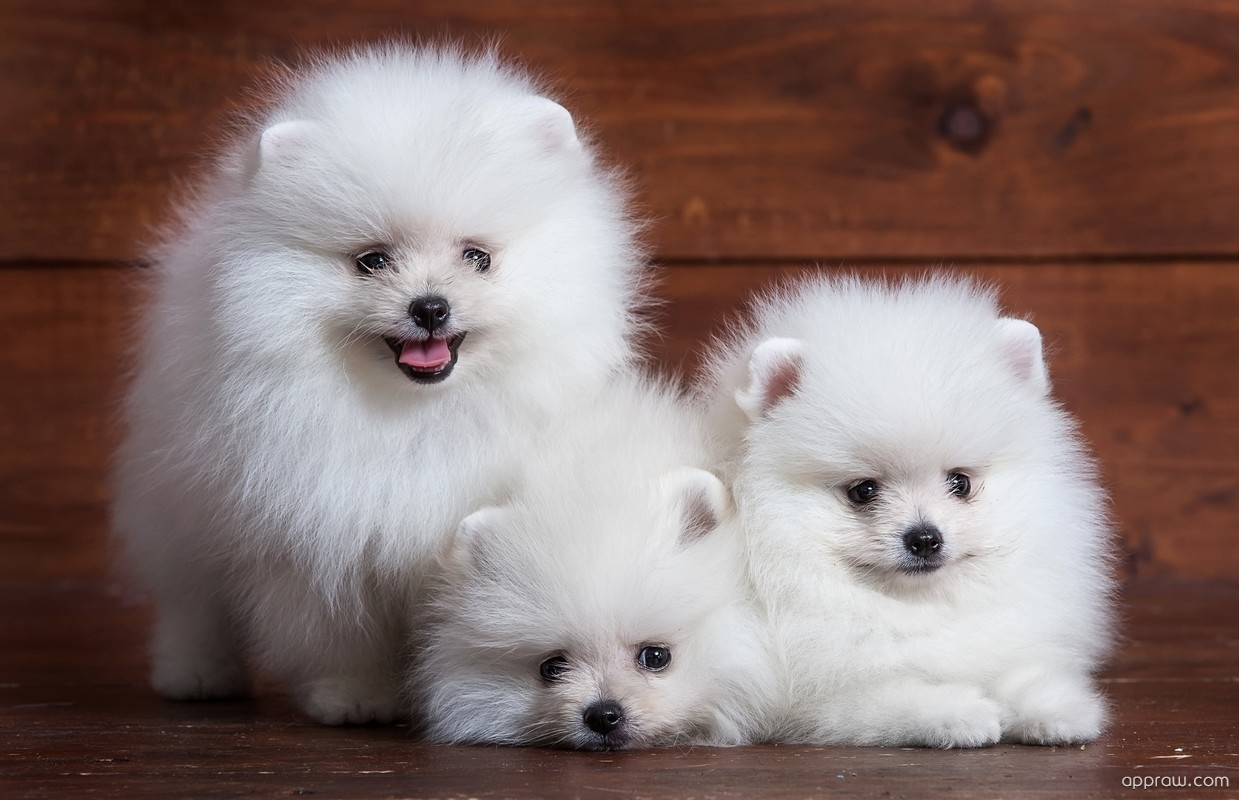 Pomeranian Puppy Wallpapers 40 Wallpapers Adorable Wallpapers
