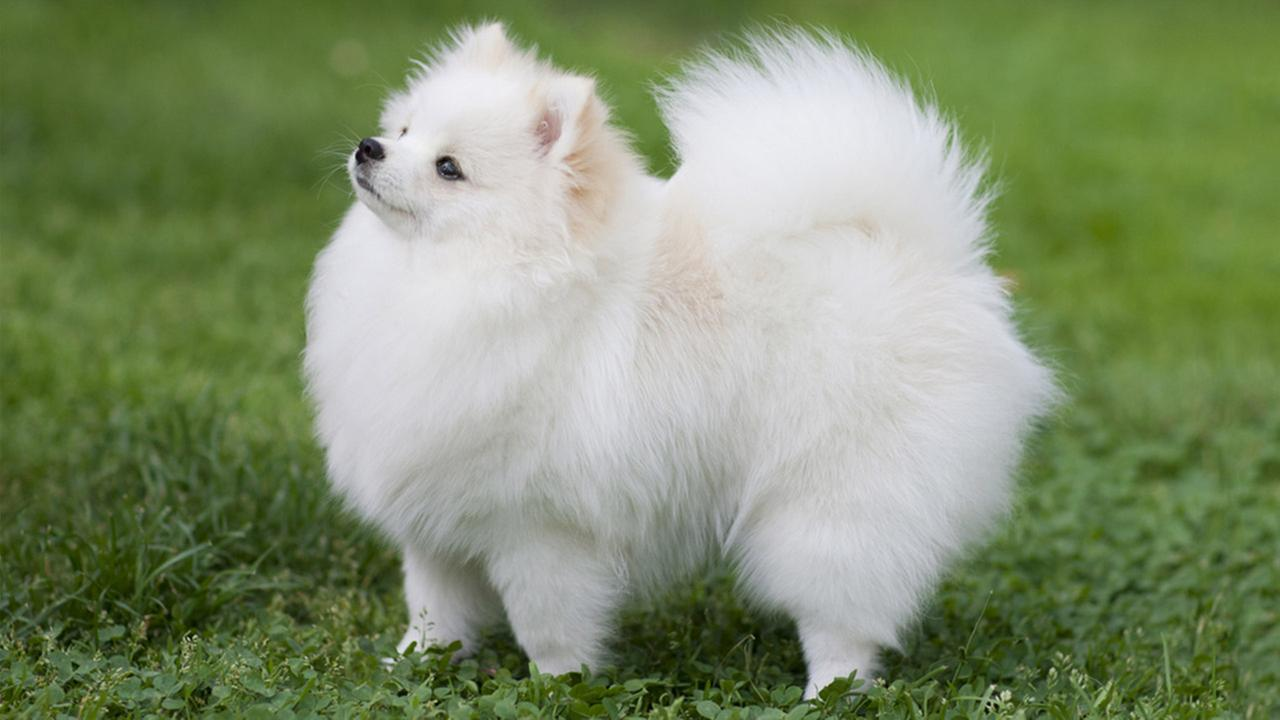 pomeranian puppy wallpapers 40 wallpapers adorable