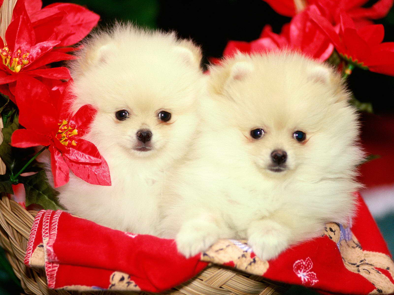Hd Pretty Brown Pomeranian Wallpapers Com Wallpaper With Cute 1600x1200