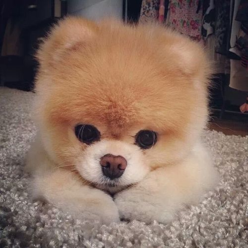 Top quality teacup pomeranian puppy images  CuteImages  images about Pomeranian Dogs on Pinterest  Guardians of ga 500x500