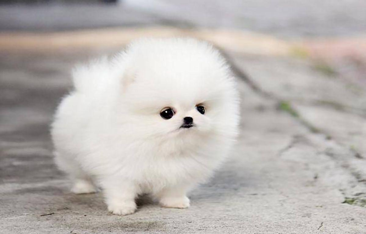 Cute Pomeranian Dog Wallpapers  HD Wallpapers 1199x768