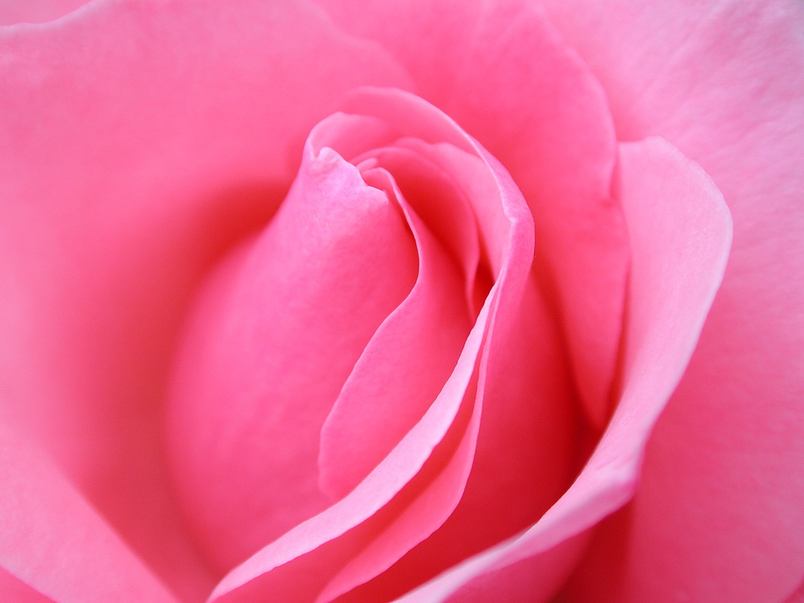 Beautiful Rose Flower Wallpaper Online Beautiful Rose Flower 1600x1200