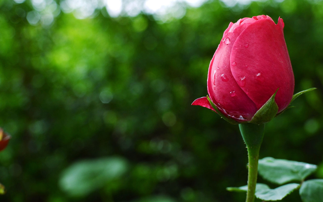HD Pictures Of Roses 1280x800