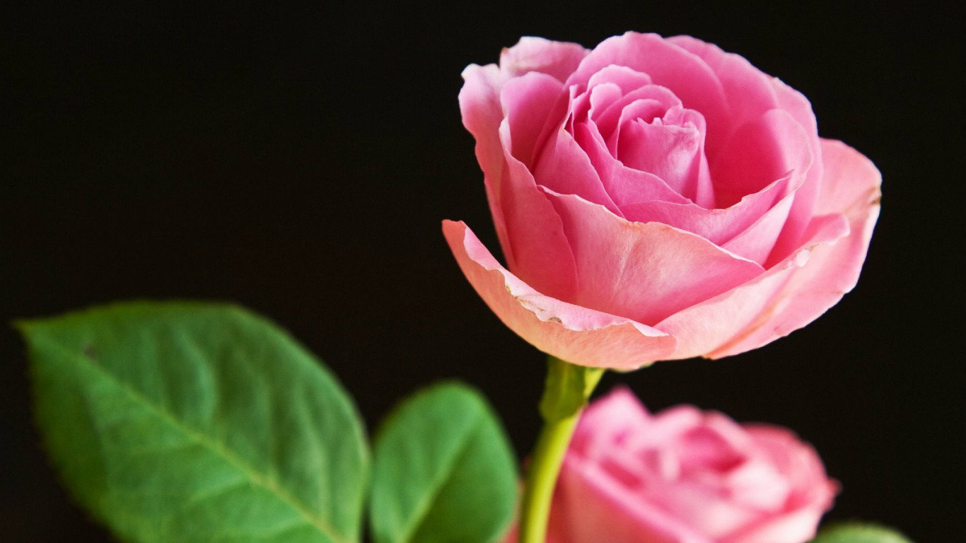 Pink Rose Wallpapers HD Pictures  Flowers  One HD Wallpaper 1366x768