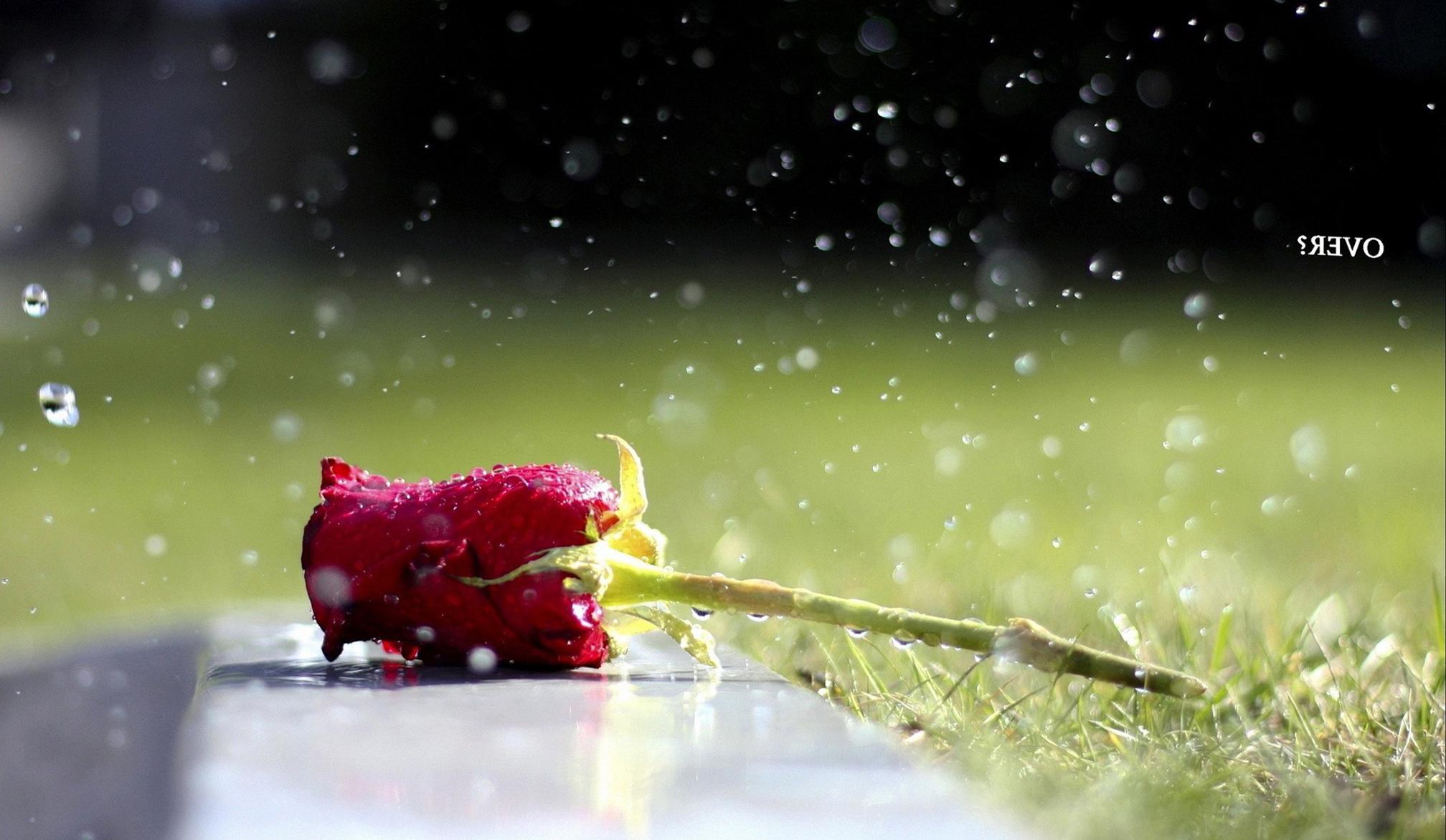 Wallpaper Single Red Rose Flower Water Drops 1920x1200 Hd: Rose With Water Drops Wallpapers (39 Wallpapers