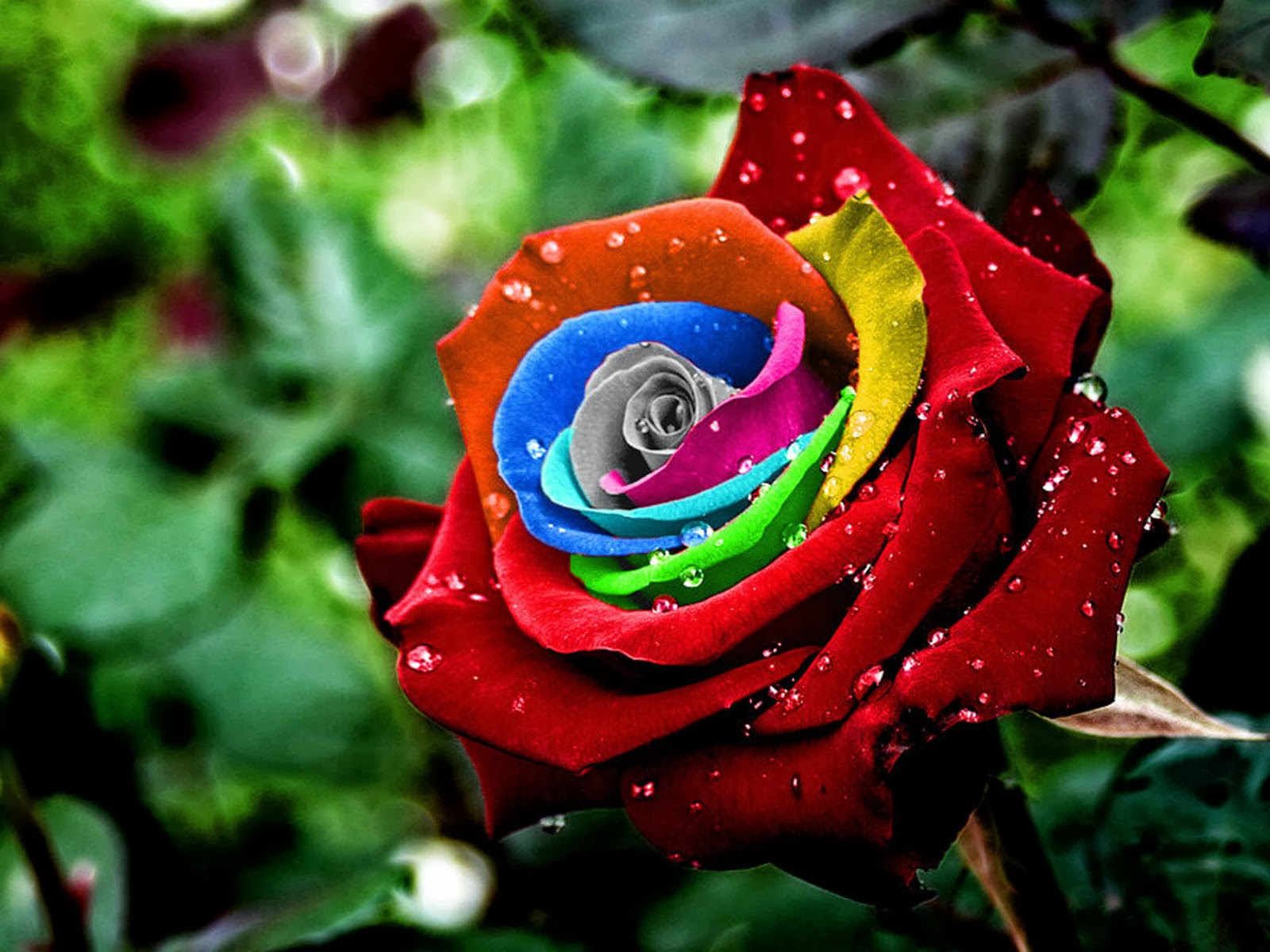 Love roses wallpaper wallpapers for free download about (, 1600x1200