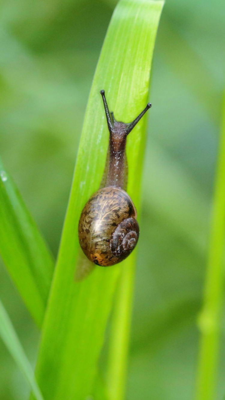 Snail Animal Macro Wallpaper  uMad Snail on a rock wallpapers and images  wallpapers, pictures, photos 750x1334