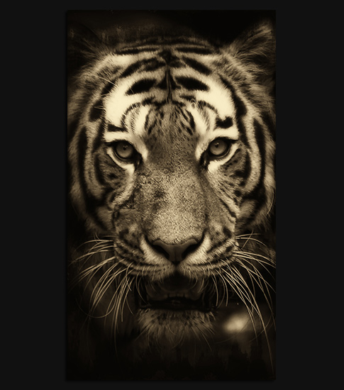 Tiger Mobile Wallpapers 16