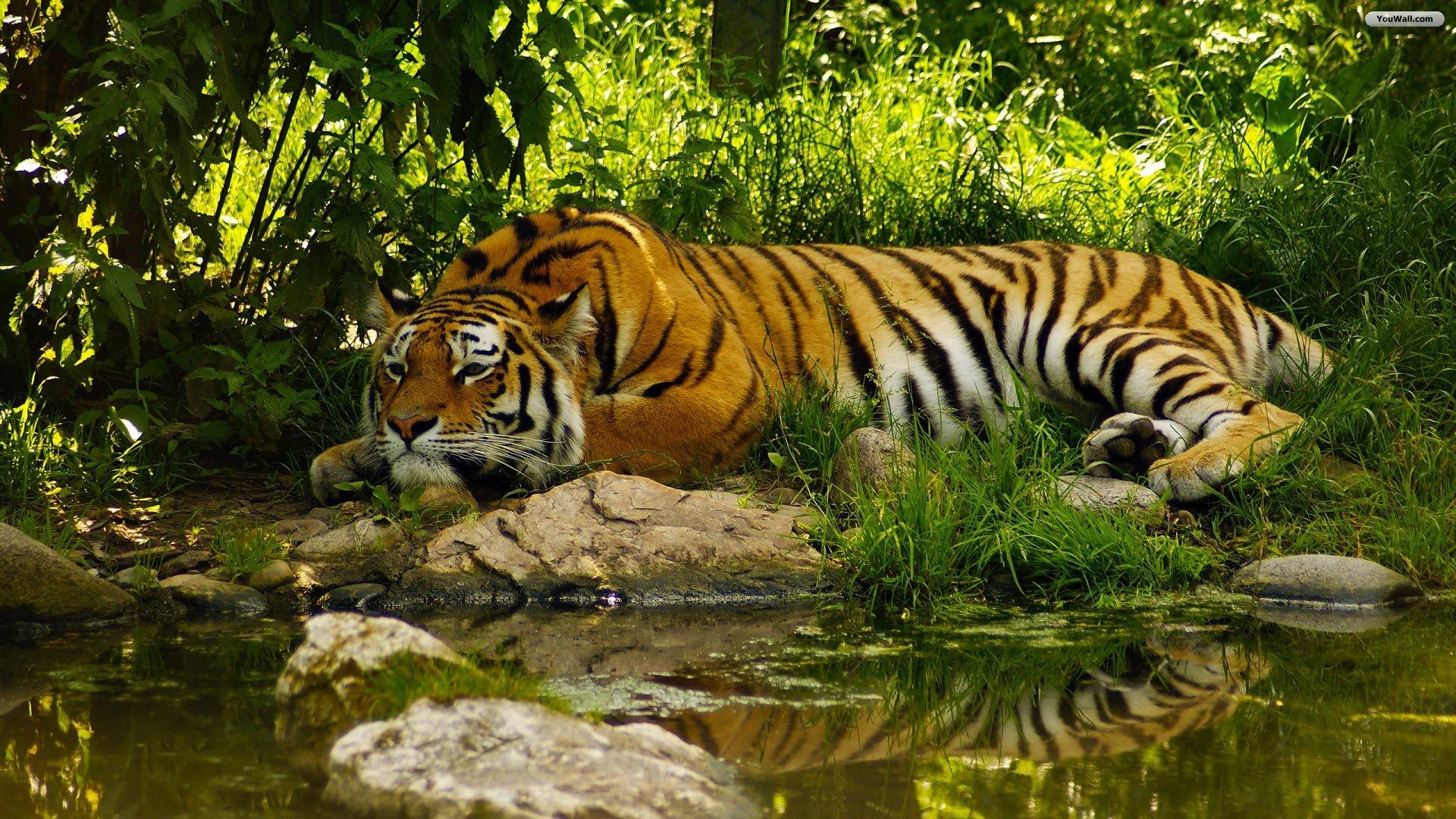 Tiger Full Hd Wallpaper Desktop Backgrounds Free Download 1920x1080