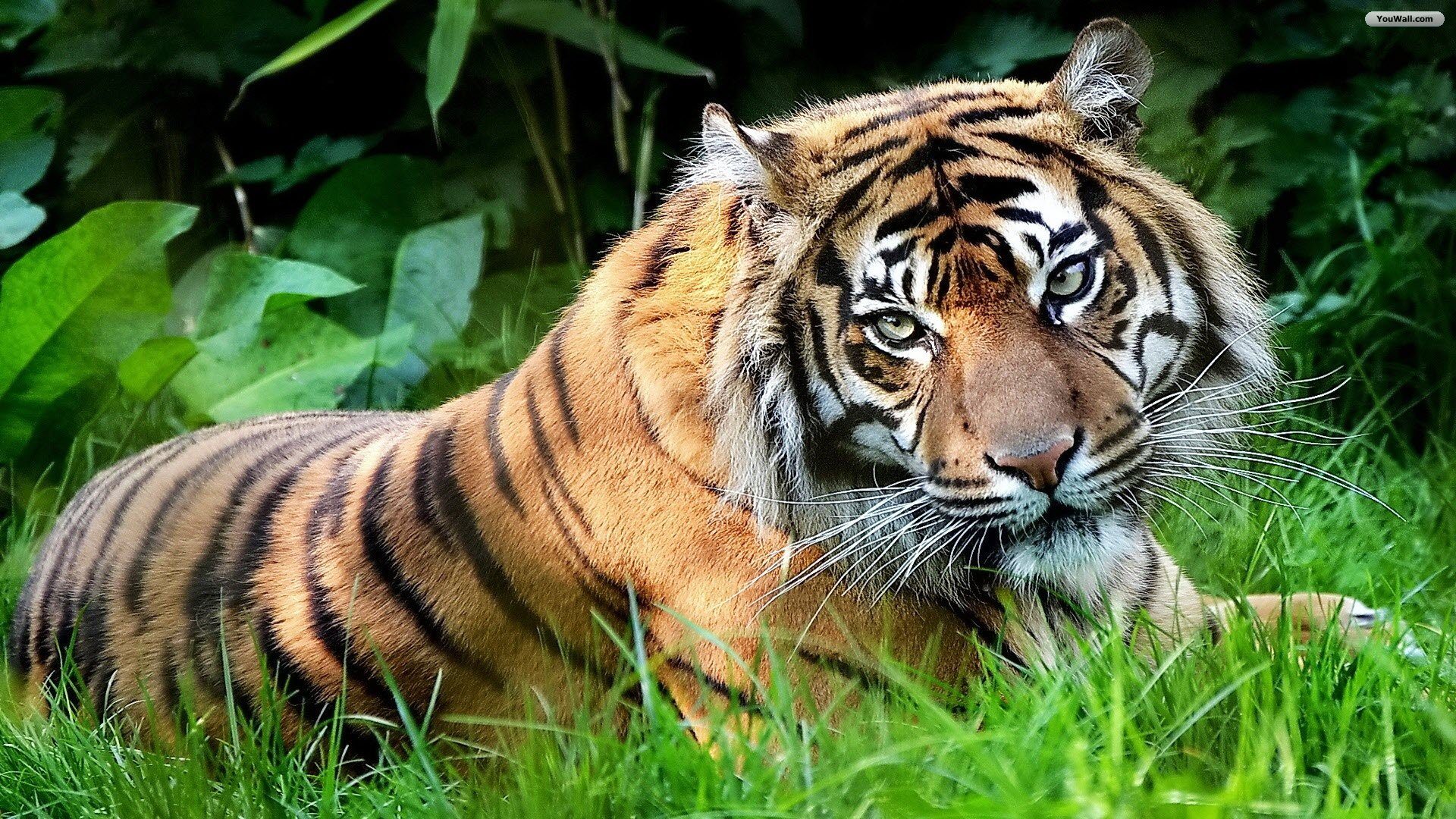 Tiger Wallpapers  Best Wallpapers 1920x1080