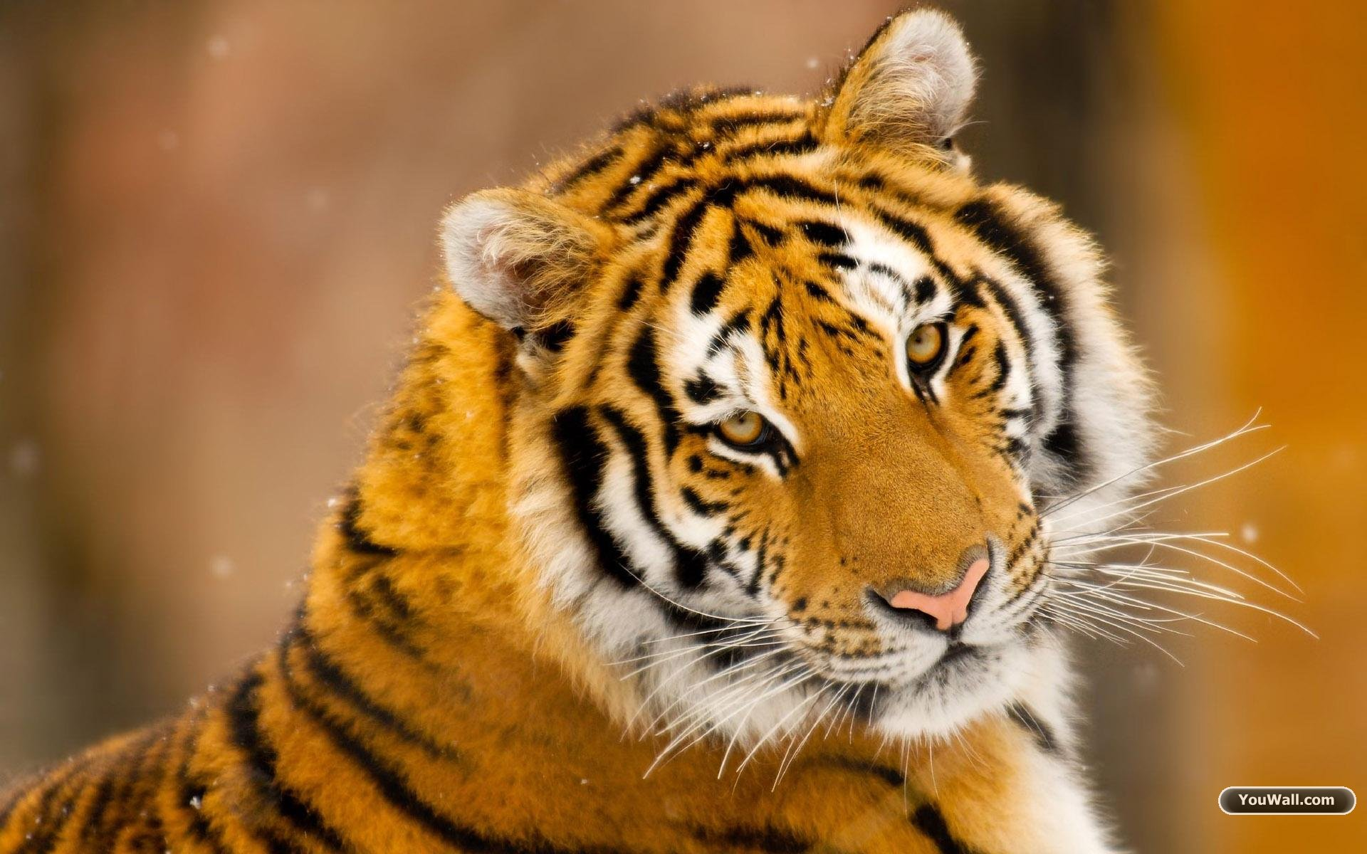 Download free tiger wallpapers for your mobile phone  most 1920x1200