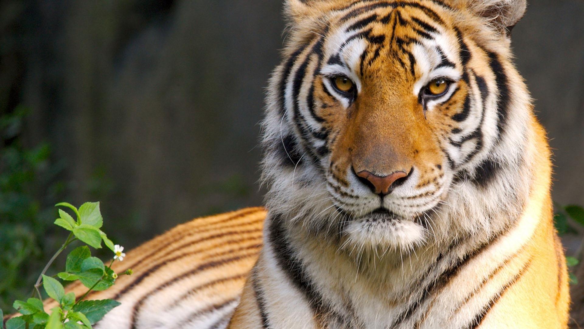Tiger wallpapers hd SF