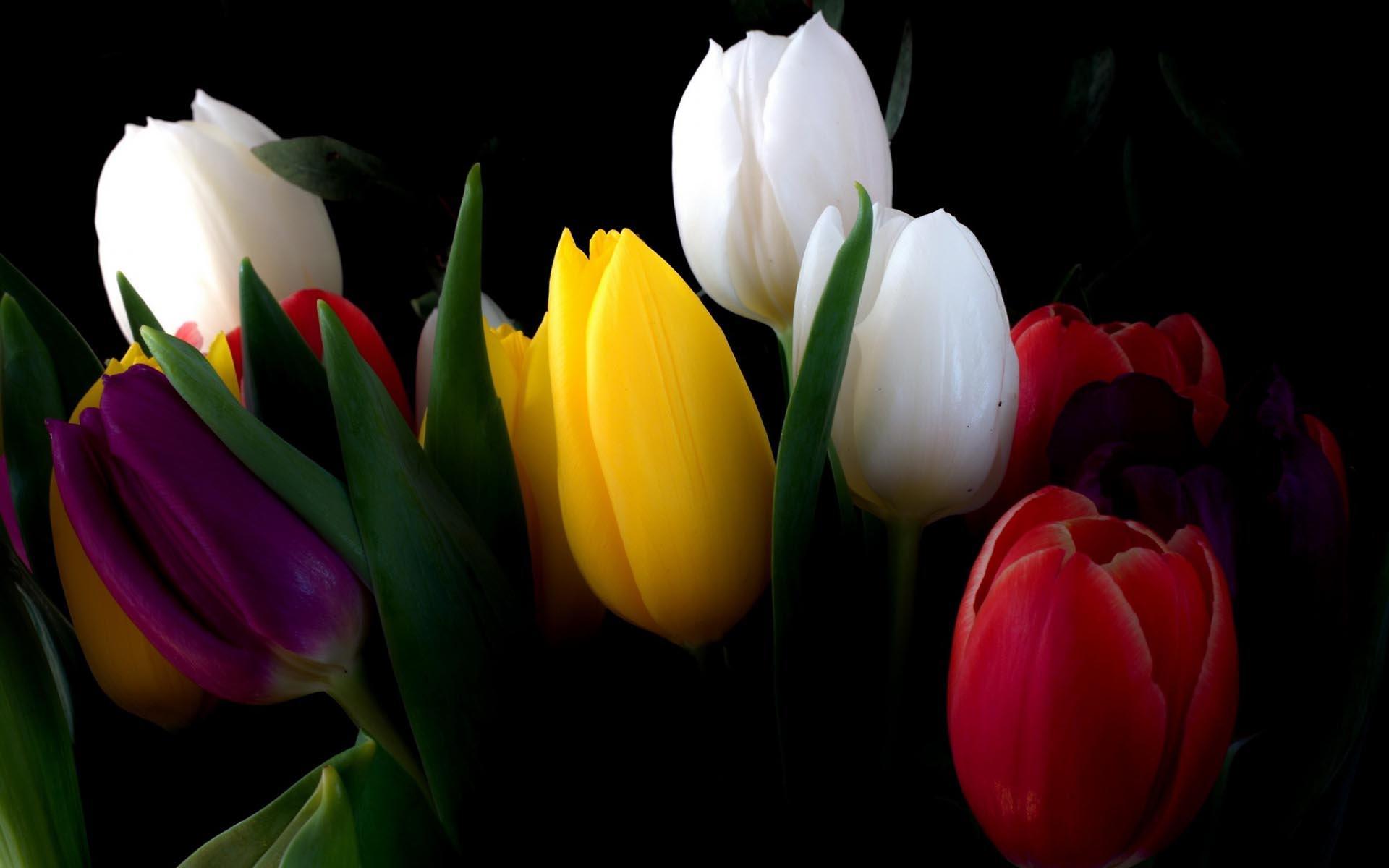 tulip flower wallpapers 35 wallpapers