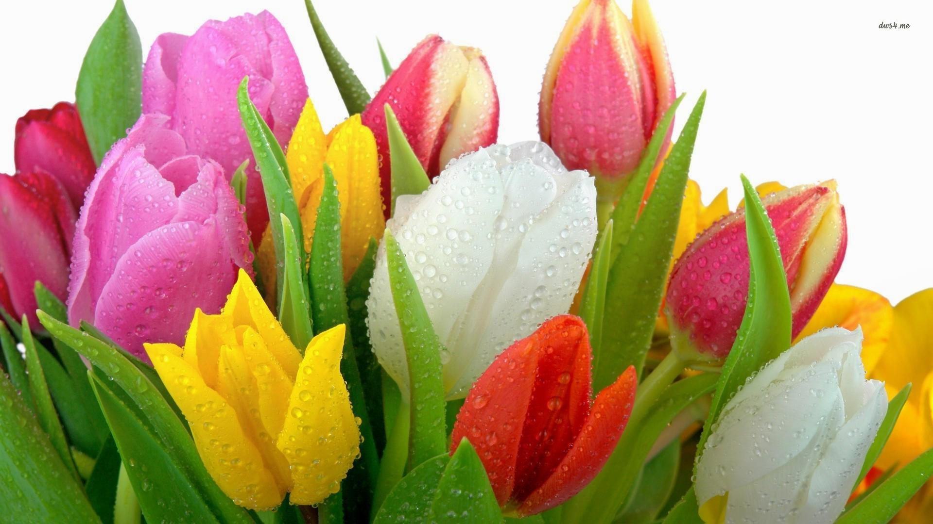 Tulip Flower Wallpapers 33 Wallpapers Adorable Wallpapers