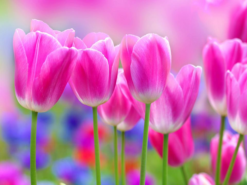 Tulip Flowers Wallpaper funmag White Tulips wallpapers Crazy Frankenstein 960x720