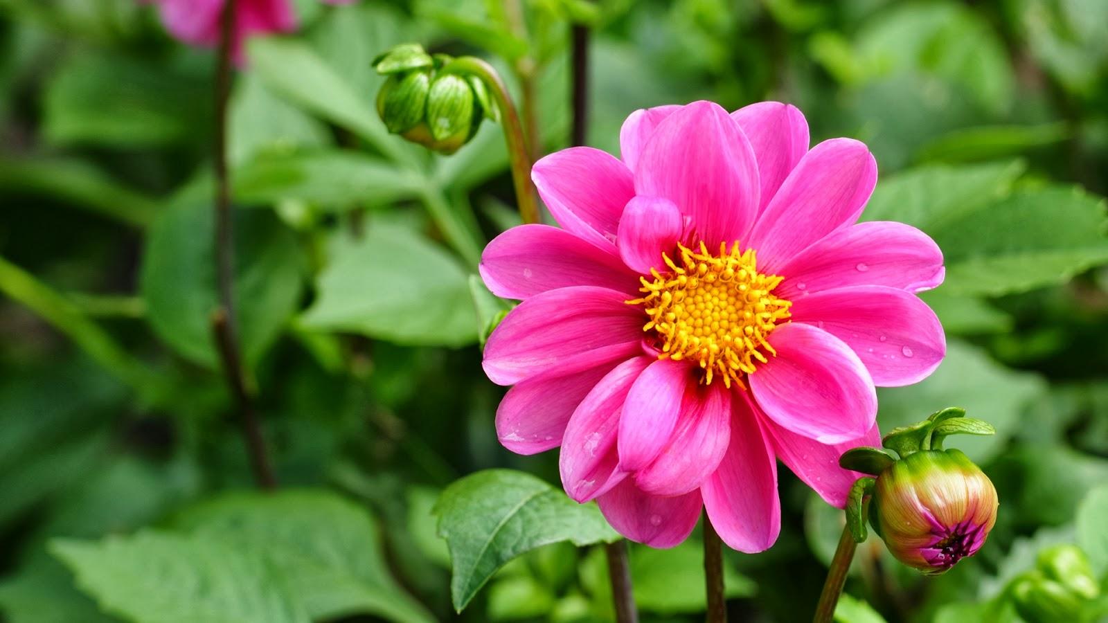 Gambar Wallpaper Bunga Sakura Jepang Cantik Kata Kata