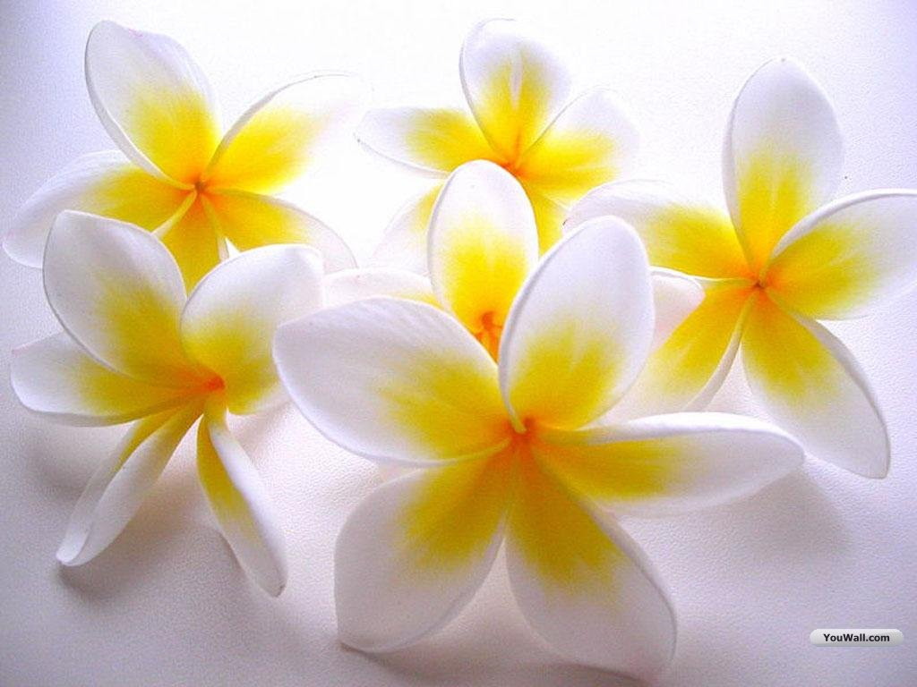 Index of wp contentuploadswhite flowers images wallpapers white flowers images mightylinksfo Image collections
