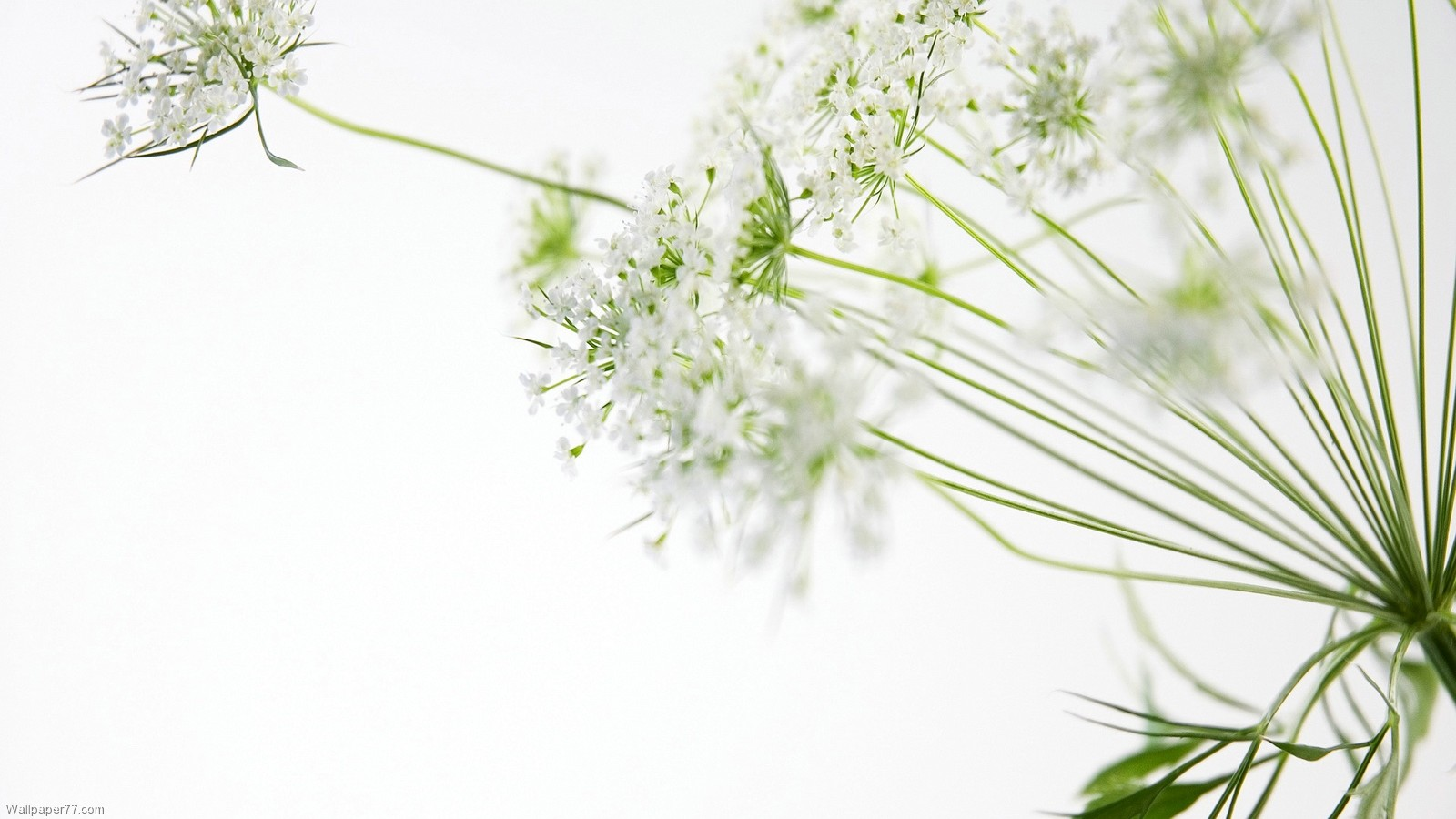 White Flowers Wallpaper For PC Full HD Pictures 1600x900