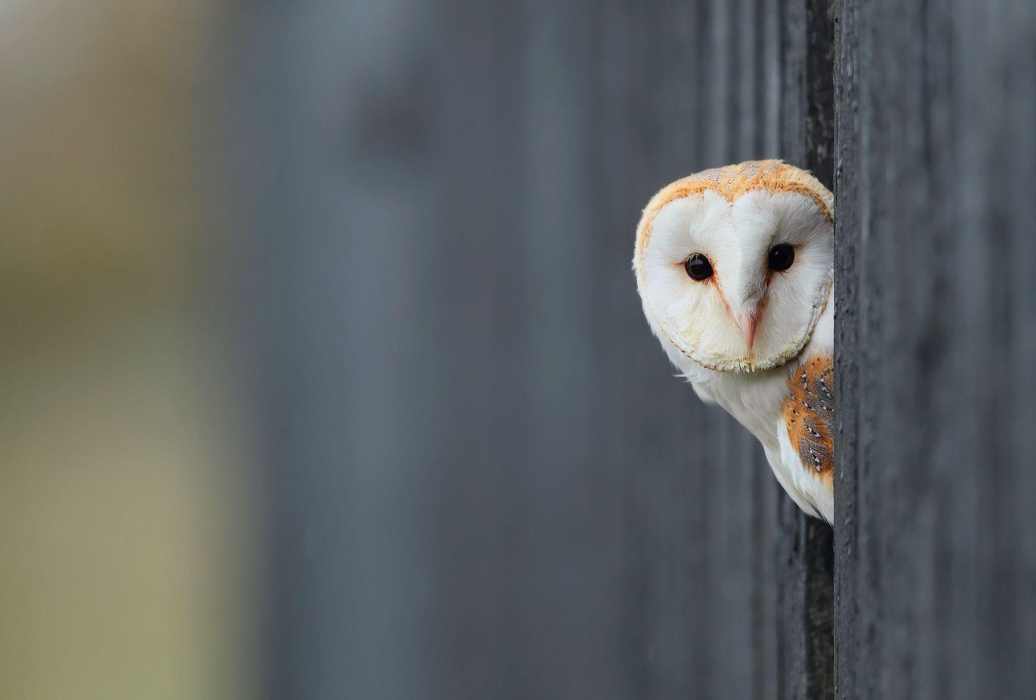 белая сова бесплатно