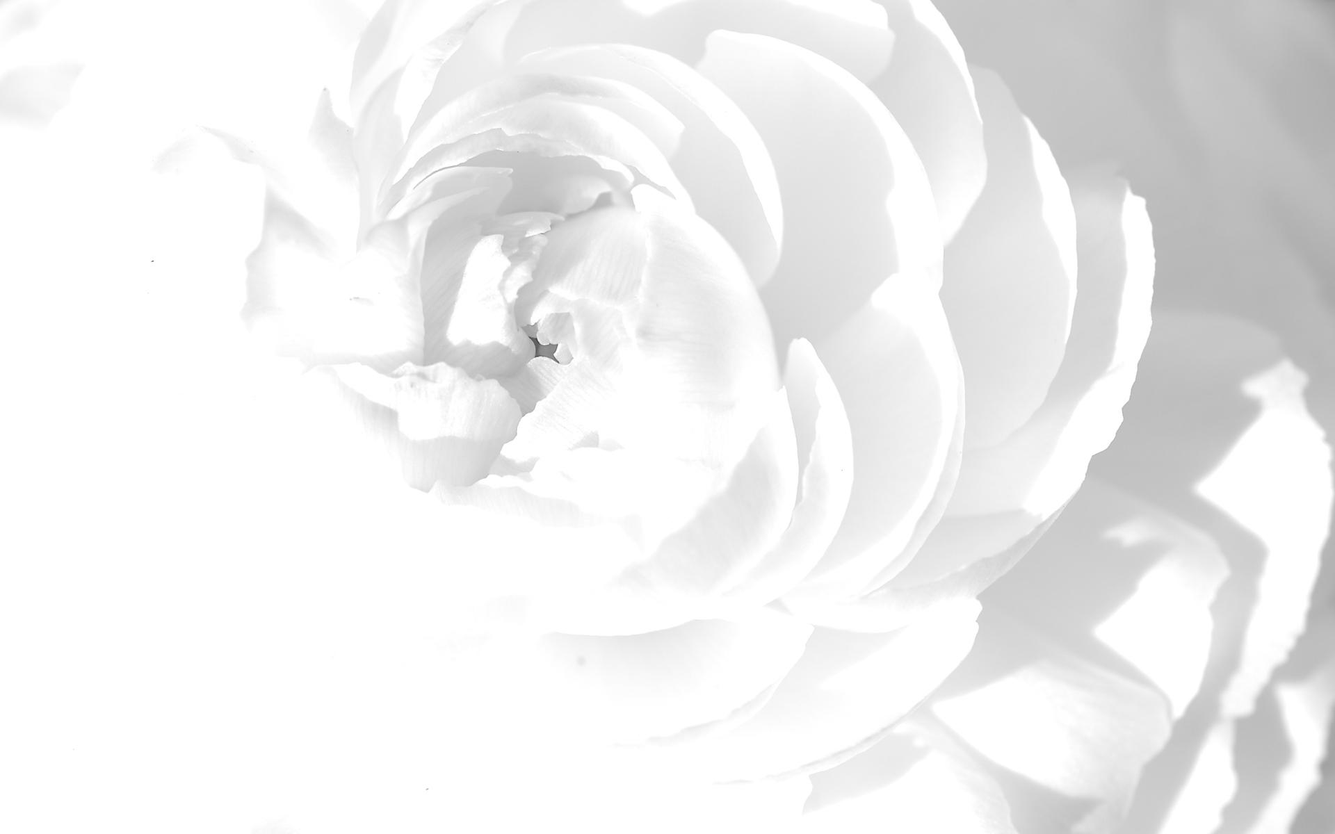 White Rose Wallpapers Wallpaper 1920x1200