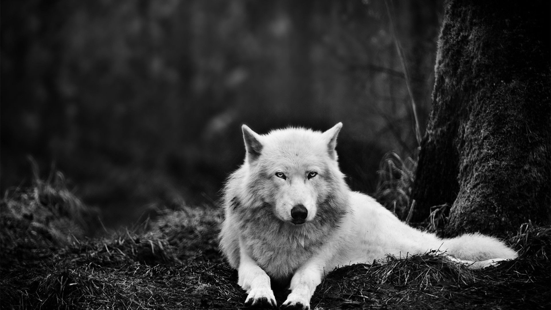 White Wolfwallpaper Wolf Wallpaper EZ Wolves Pinterest Wolves, Wallpapers and 1920x1080