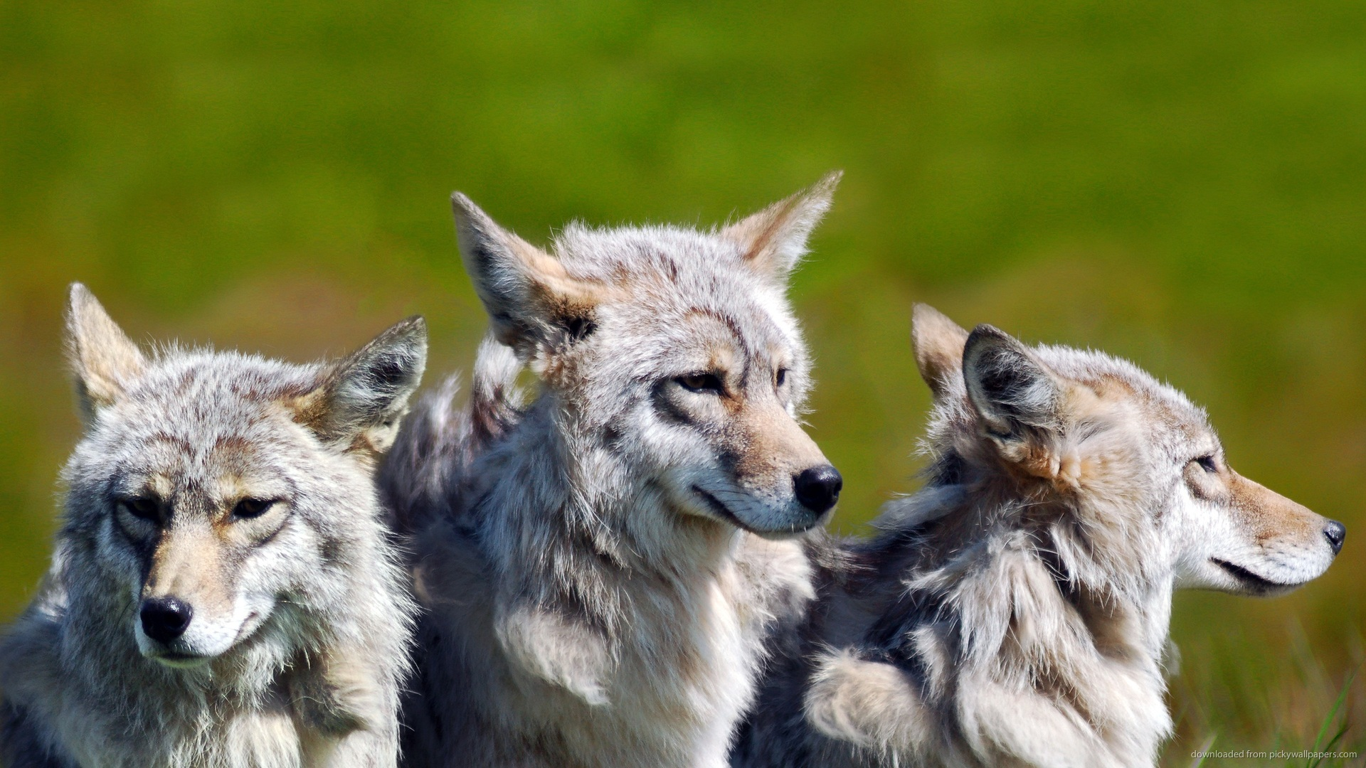 Wolf Pack Wallpapers (42 Wallpapers) – Adorable Wallpapers - photo#26