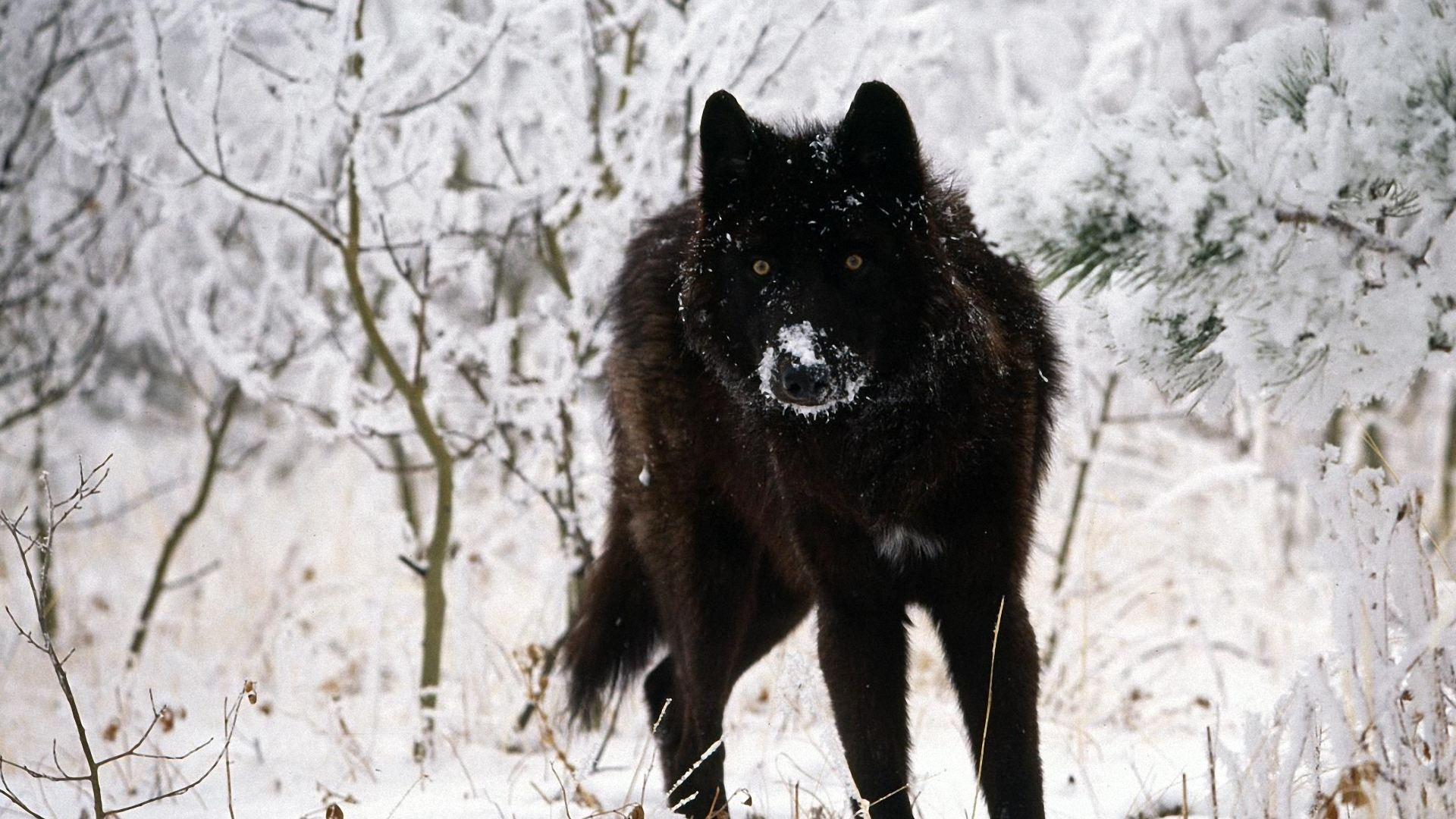 Best ideas about Wolf Wallpaper on Pinterest  Wallpaper art 1920x1080