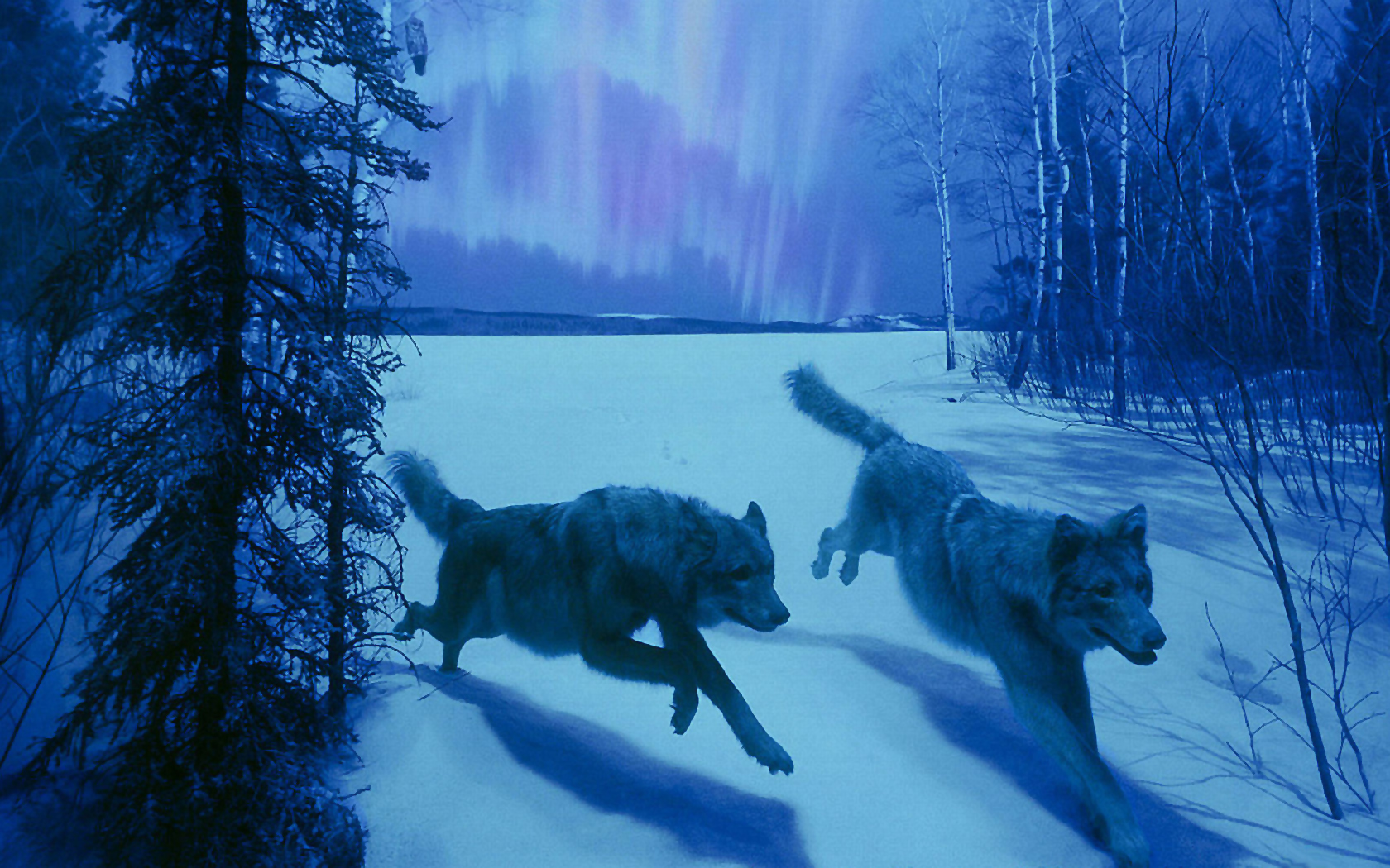 HD Wolf Backgrounds  PixelsTalk Collection of Cool Wolf Backgrounds on HDWallpapers 1680x1050