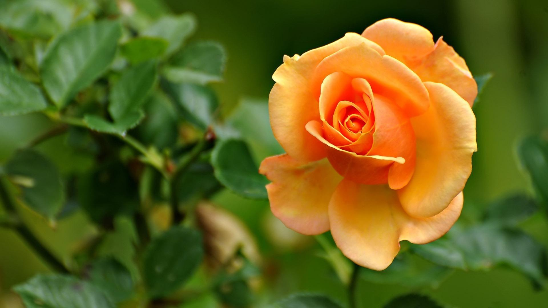 Yellow Roses Wallpapers Rose Flower Images Pictures And 1920x1080