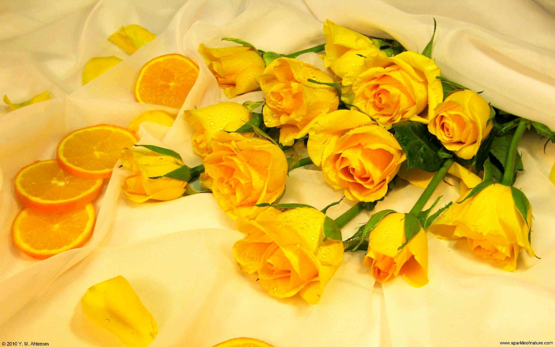Yellow Roses Pictures Free Download