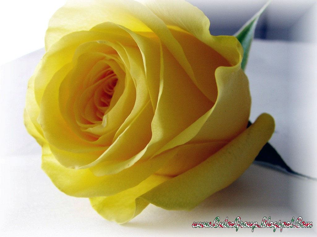 Beautiful Yellow Rose Flowers Wallpapers Zellox 1024x768