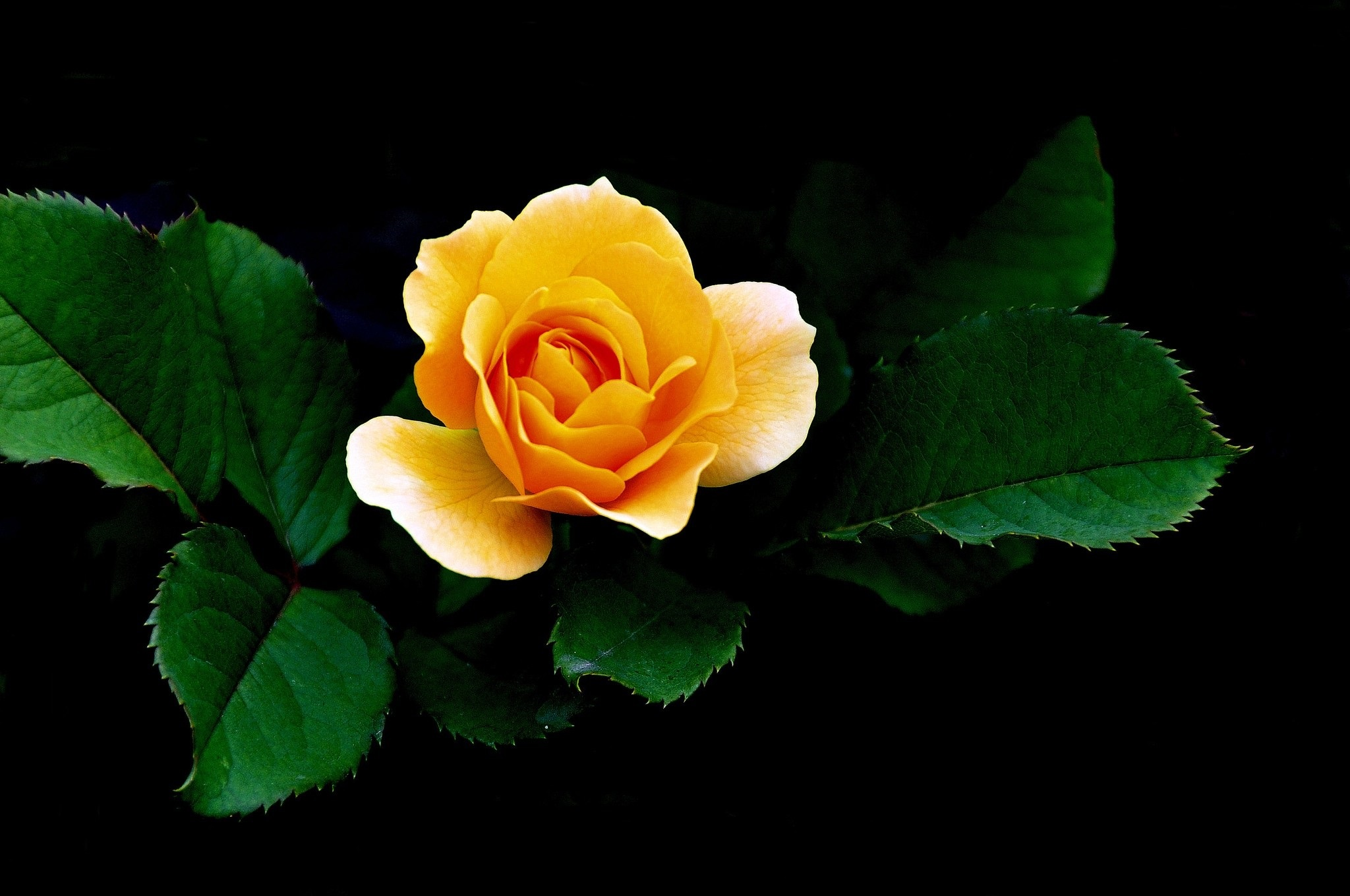 Yellow Rose Wallpapers High Quality Download Free 2048x1360