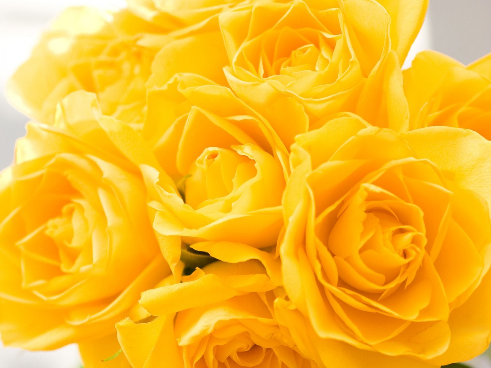 yellow roses images wallpapers 60 wallpapers