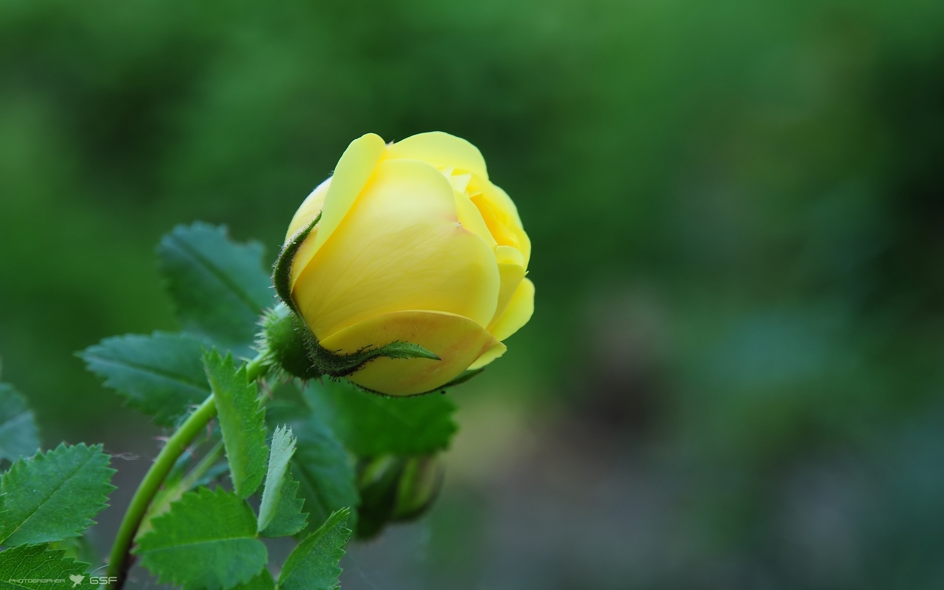 Yellow Roses Images Yellow Rose Wallpaper Download The Free 1920x1200