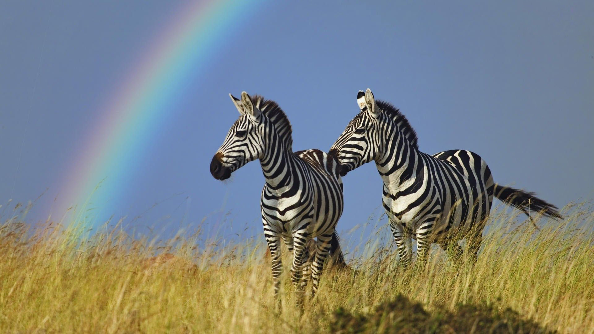 zebra desktop wallpapers 039