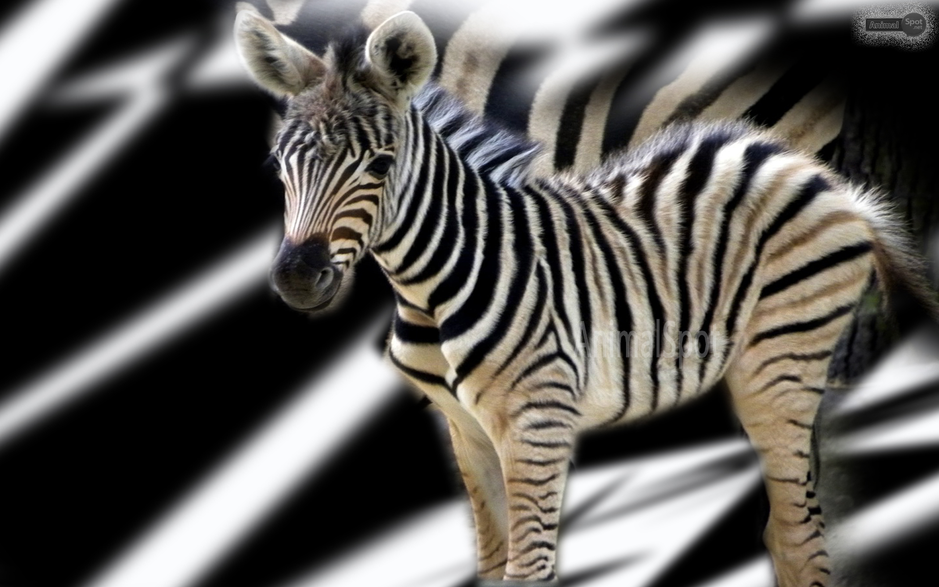 Zebra images wallpapers 42 wallpapers adorable wallpapers for Zebra wallpaper